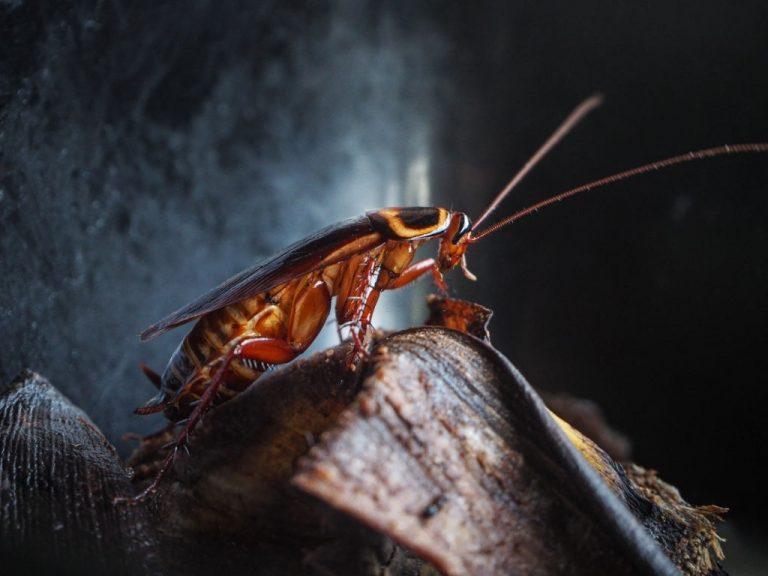 Cucaracha - Significado Y Simbolismo De Los Sueños 1