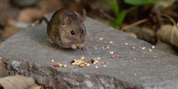Ratón – Significado Y Simbolismo De Los Sueños 125