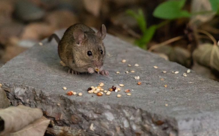 Ratón – Significado Y Simbolismo De Los Sueños 1