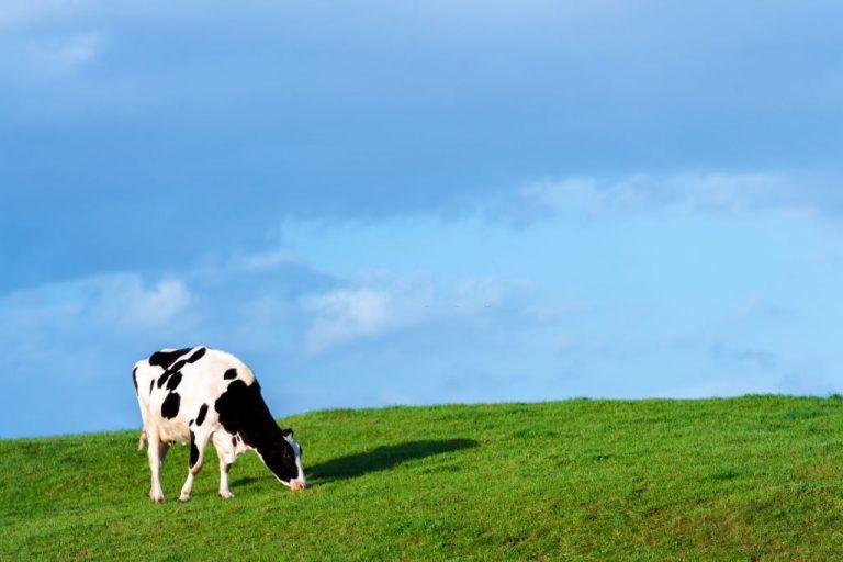 Vaca – Significado Y Simbolismo De Los Sueños 1