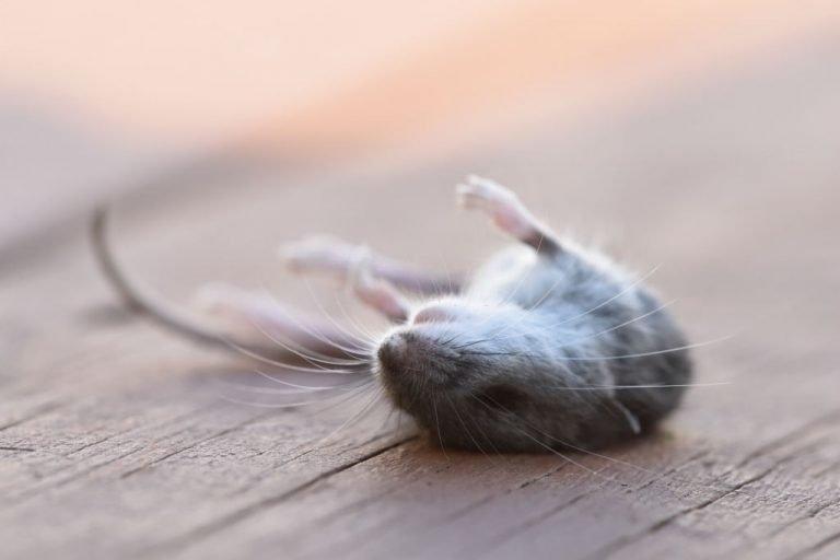 Ratón Muerto – Significado Y Simbolismo De Los Sueños 1