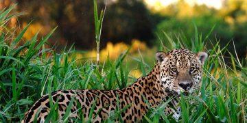 Jaguar – Significado Y Simbolismo De Los Sueños 2