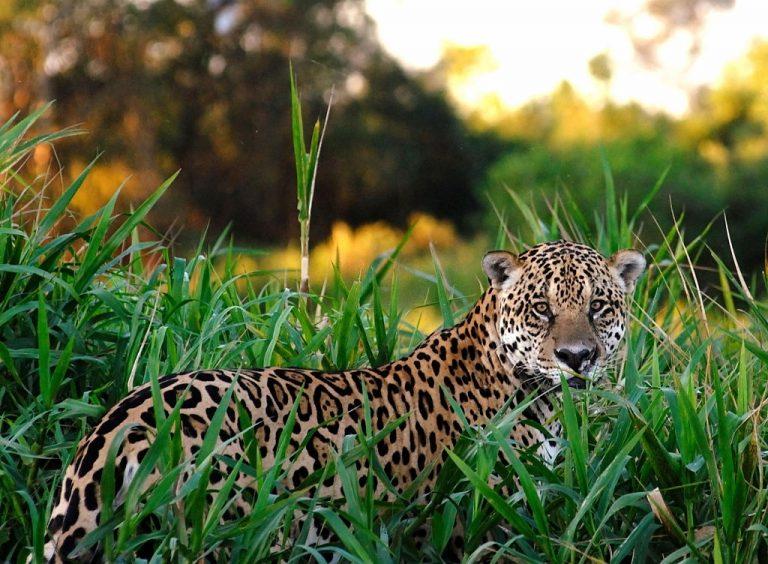 Jaguar – Significado Y Simbolismo De Los Sueños 1