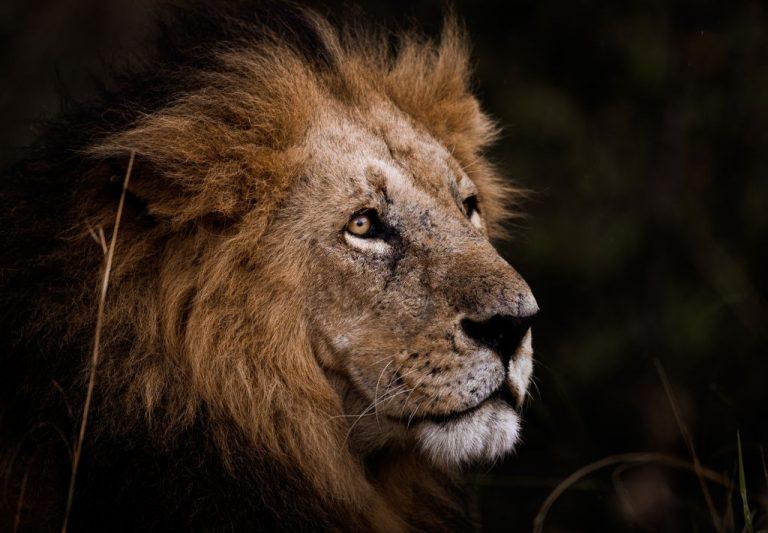 León – Significado Y Simbolismo De Los Sueños 1