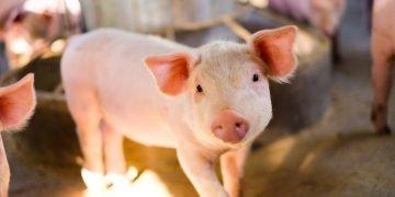Cerdo – Significado Y Simbolismo De Los Sueños 57