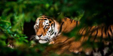 Tigre – Significado Y Simbolismo De Los Sueños 69