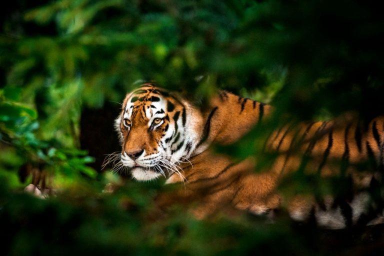 Tigre – Significado Y Simbolismo De Los Sueños 1
