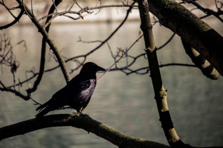 Pájaro Negro – Significado Y Simbolismo De Los Sueños 1