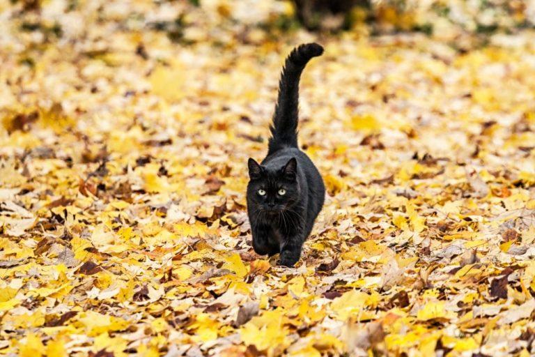Gato Negro – Significado Y Simbolismo De Los Sueños 1