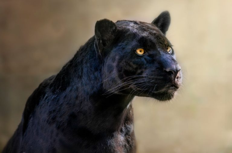 Jaguar Negro – Significado Y Simbolismo De Los Sueños 1