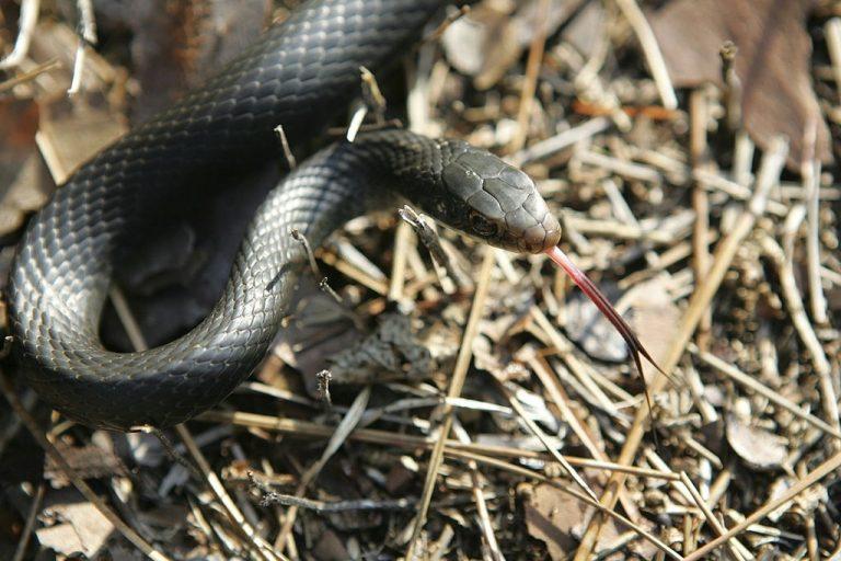 Serpiente Negra – Significado Y Simbolismo De Los Sueños 1