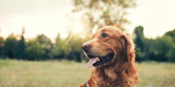 Perro Marrón – Significado Y Simbolismo De Los Sueños 39
