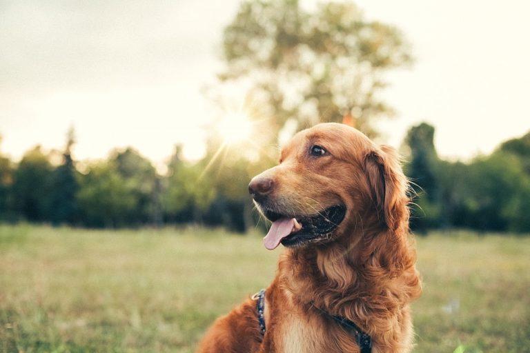 Perro Marrón – Significado Y Simbolismo De Los Sueños 1
