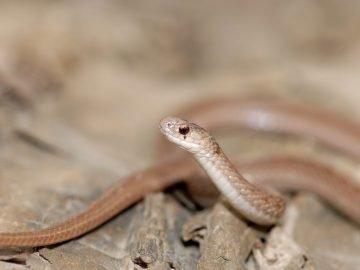 Serpiente marrón - Significado y simbolismo del sueño 13