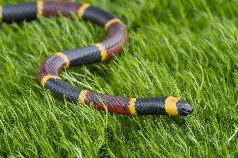 Serpiente De Coral – Significado Y Simbolismo De Los Sueños 1