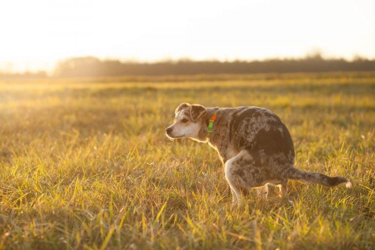 Heces De Perro – Significado Y Simbolismo De Los Sueños 1