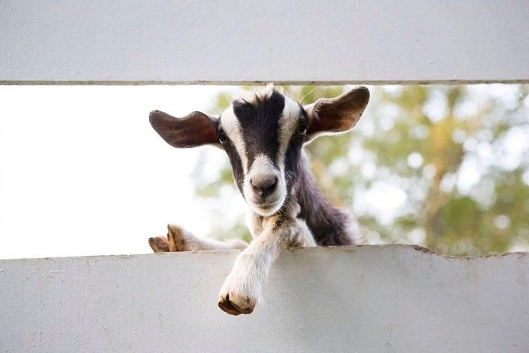 Cabra – Significado Y Simbolismo De Los Sueños 1