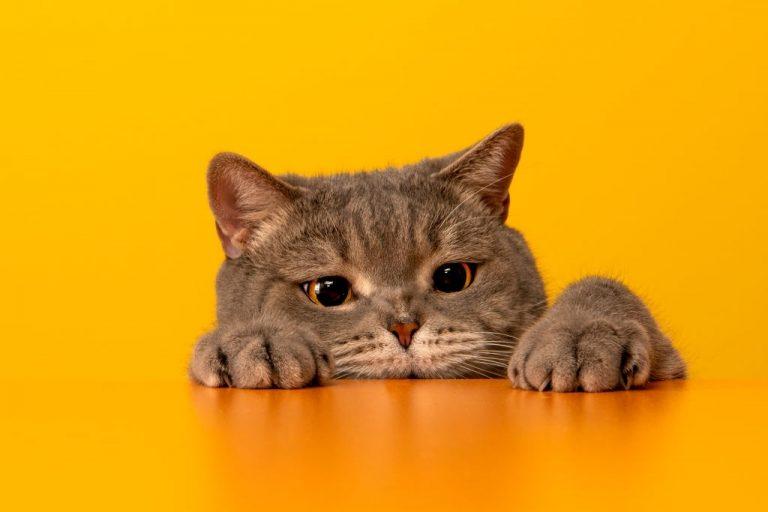 Gato Gris – Significado Y Simbolismo De Los Sueños 1