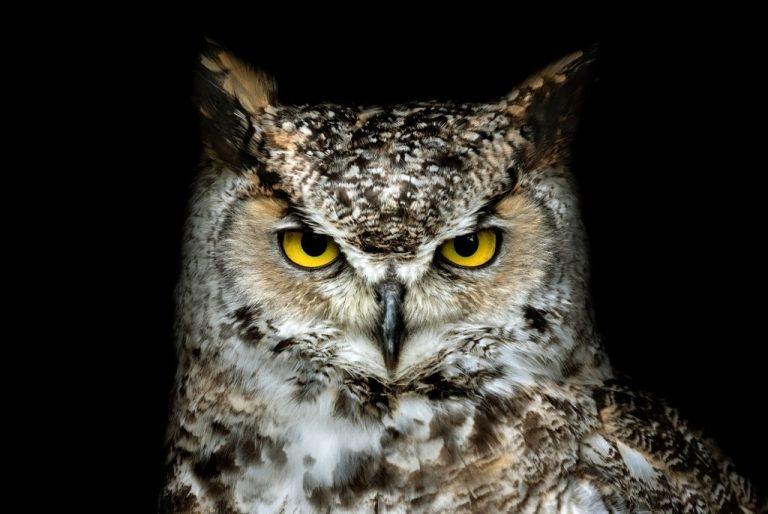 Maori Owl