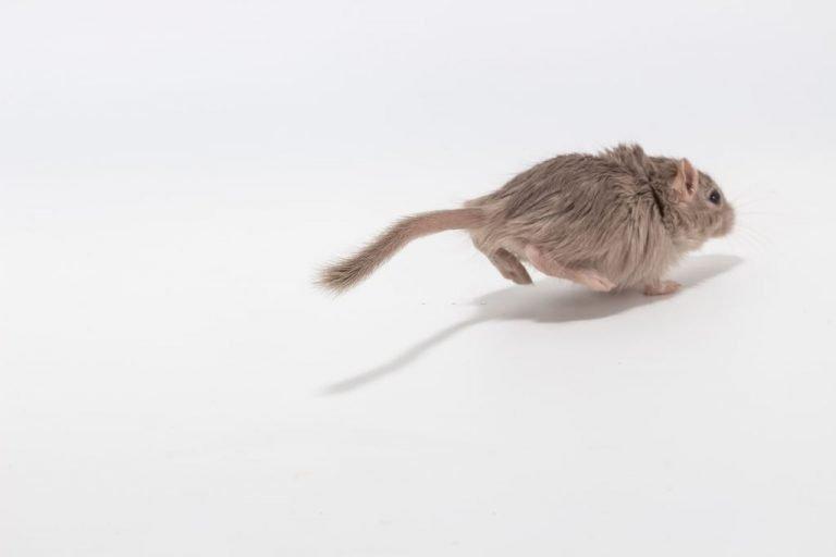 Ratón Que Corre – Significado Y Simbolismo De Los Sueños 1