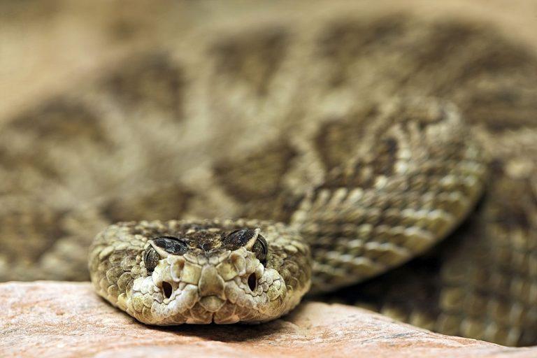Serpiente De Cascabel – Significado Y Simbolismo De Los Sueños 1
