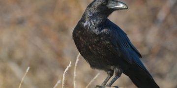 Cuervo – Significado Y Simbolismo De Los Sueños 5