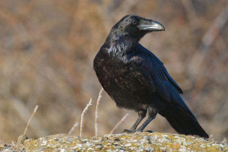 Cuervo – Significado Y Simbolismo De Los Sueños 1