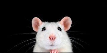 Ratón Blanco – Significado Y Simbolismo De Los Sueños 51