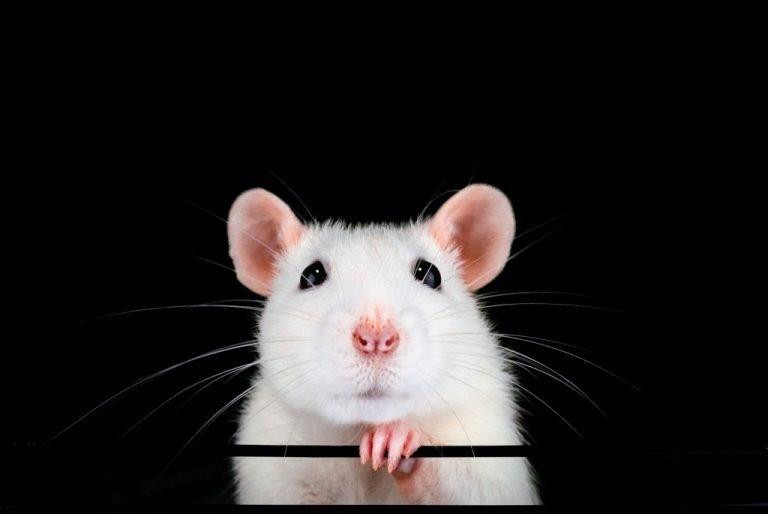 Ratón Blanco – Significado Y Simbolismo De Los Sueños 1