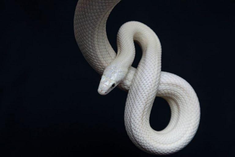 Serpiente Blanca – Significado Y Simbolismo De Los Sueños 1