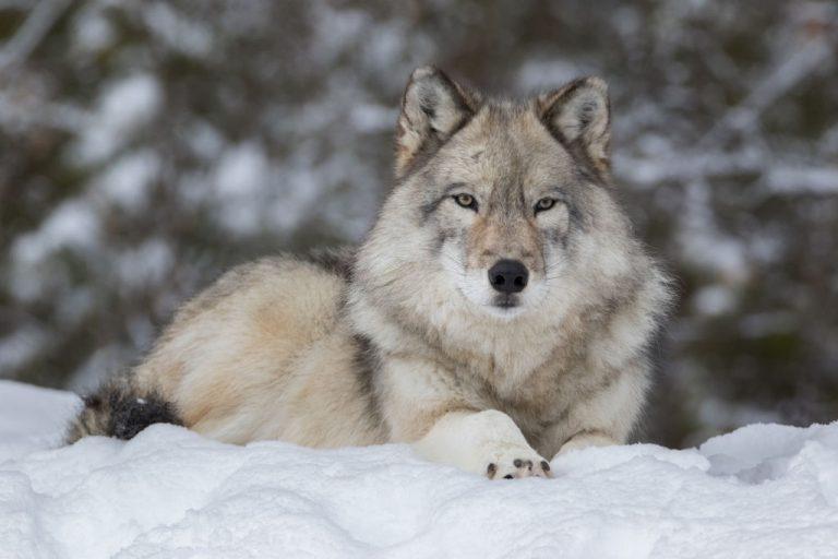Lobo – Significado Y Simbolismo De Los Sueños 1